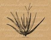 Common Aloe Vera 350 Digital Image Download Transfer Clip Art Digital Botany Plant Burn Soothe Body Care Skin Cactus Succulent Health Herbal