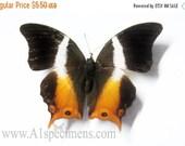 10% OFF SALE Palla Ussheri folded Butterfly Specimen Taxidermy
