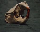 Adult Beaver Skull
