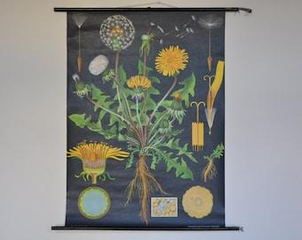 Original Pull Down School Chart. Dandelion. Yellow Flower. Mid Century Botanical Print.  Jung Koch Quentell. Germany. 1148