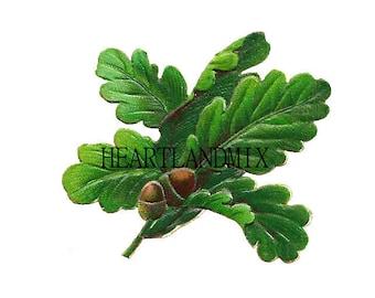 Antique Botanical Acorn Oak Downloadable Wall Art Graphic Image Printable