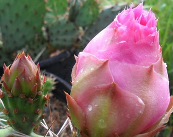 Winter Hardy Prickly Pear Opuntia Cactus Large PINK BUDS & BLOSSOMS!!!