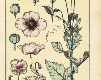 Original  Antique Folio original hand-colored Botanical Decorative Pochoir  French Print - Poppy- Der MOhn And Pavot