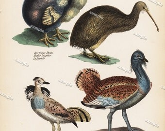 Antique Hand Colored Original Dodo -Kiwi  Print from Schinz First Edition 1840 not a recent Hand colored Print. Extinct bird