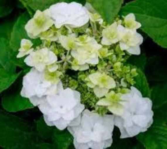 Hydrangea Macrophylla Wedding Gown: Wedding Gown White Double Delights Hydrangea Live Plant