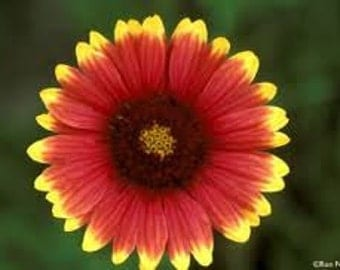 INDIAN BLANKET FLOWER Seeds 50 Fresh seed ready to plant in your garden or pots