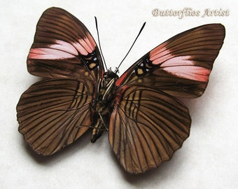 Pink Banded Adelpha Lycorias Real Butterfly From Peru Framed In Shadowbox