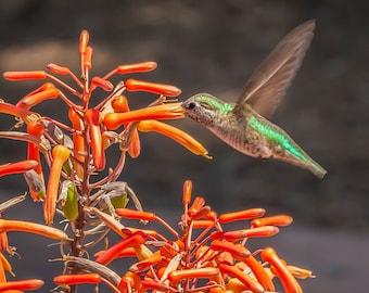Hummingbird  BI-2701, Fine Art Photography, Hummingbird, Bird