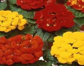 Slipper Flower- Fashion Mix  50 Seeds each pack