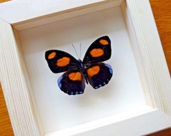Echte Grecian schoenmaker Butterfly ingelijst - taxidermie - Home Decoratie - Collectibles