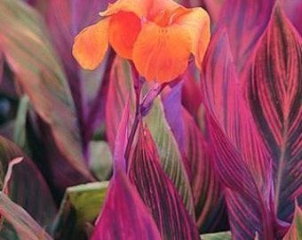 Canna Lily Phasion variegated Quart Plant free ship