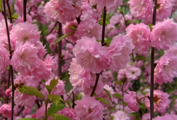 1 Shrubs Pink Flowering Almond 2 Foot Tall Brancheed
