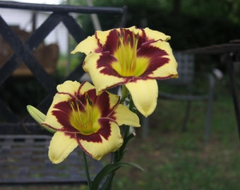 Yellow and Red Lilies
