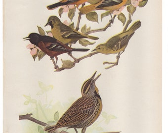 Vintage Print Birds North America Color Book Plate 1950s