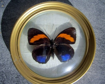 Butterfly in natural glass and true vintage catagramma excelsior Peru
