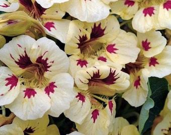 Ladybird Cream With Purple Spot Nasturtium Flower Seeds / Annual  35+