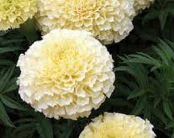American Eskimo Marigold Flower Seeds / Annual  35+