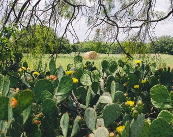 Texas Cactus, Cacti, Wildflower, Cactus Rose, Yellow Flower, Photography, Photo Fine Art, Landscape Nature, Hay Bale, TX Nature Field