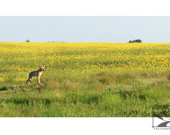 Coyote Pup in Canola Field - Wildlife Animal Nature Photography from Alberta, Canada