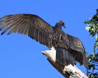 Turkey Vulture, nature, photo, print, photography, wall art, home decor