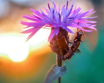 Purple flower photography, insect art, nature photography, bugs and flowers, romantic sunset, micro photography, Buggy Romance