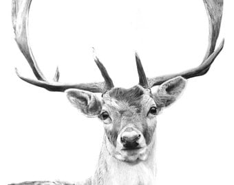 """SIGNED Giclee print Stag Fallow Deer Pencil Drawing 16"""" x 12"""""""