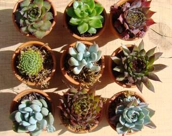 100 living succulents, terracotta pot favors, mini succulent favour, succulent planter favour, terracotta pots, baby succulents, rustic pots