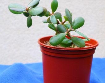 2x Money Trees  Jade Plants Succulent House Plants (Crassula ovata)  in  1L 14cm pots.