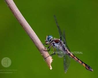 Dragonfly, Fine Art Prints, Nature Photography, Wildlife Photography, Insects, Florida, Photos