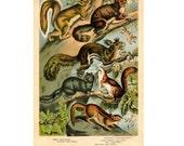 1880 SQUIRREL lithograph - original antique print - wild life mammal zoology lithograph - animal habitat