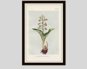 Antique Botanical Print, Orchid, Cottage Decor, Vintage Wildflower, Victorian Lithograph, Original Print, Purple Flower Print, Plate CLVI