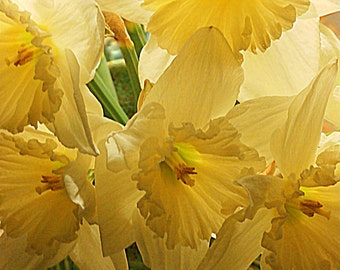 Daffodils in a Green Vase--8 x 10 fine art photo, signed