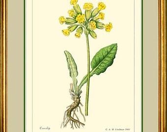 COMMON COWSLIP - Vintage Botanical print reproduction 136