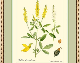YELLOW SWEETCLOVER - Vintage Botanical print reproduction - 325