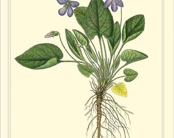 HAIRY VIOLET - Botanical instant digital download file 1901 Lindman