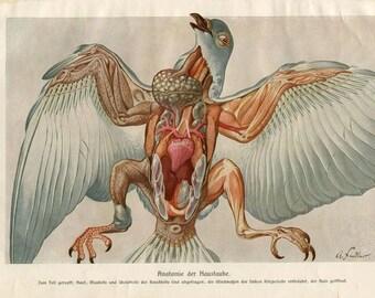 Vintage Print Bird Anatomy Pigeon Brehms Tierleben 1920s