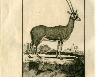 1800s Vintage Print Gazelle Pasan Buffon Engraving Black and White