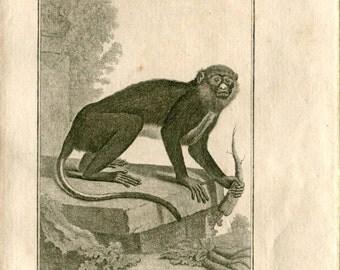1800s Antique  Print Monkey Blanc-Nez  French Engraving Buffon Ape Primate