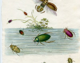 Antique Insect print. Water Beetles. Coleoptera From Rees Cyclopedia 1813. Handcolored Entomology Print. Gift for Entomoloy Student.