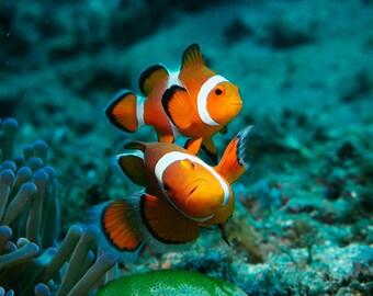 Orange Clown Fish Pair Underwater - Underwater Photography - Clown Fish Photography - Finding Nemo decor - Orange Decor - Large Wall Art