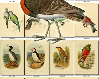 BIRDS-27 Collection of 245 vintage pictures Houbara Heron Lapwing Tern 300 dpi digital download printable clipart animals illustration