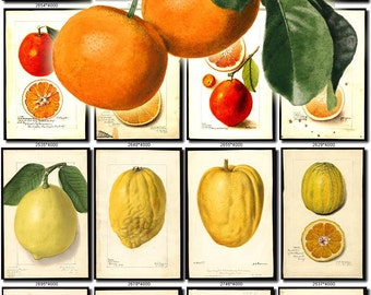 CITRUS-3 Collection of 150 vintage images Pomelo unshiu medica grandis pictures High resolution digital download printable fruits edible