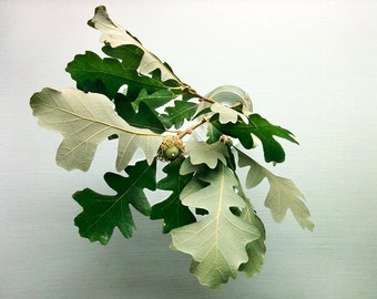 Oak branch, digital photography print, original colour photo, still life, acorn, oak, color photo print