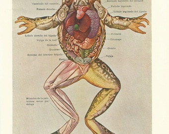 1935 Bizarre Anatomy of a female frog... Authentic antique 80 years old nice print!