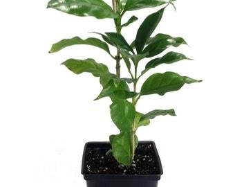 "Hirt's Arabica Coffee Bean Plant - 3.5"" pot - Grow & Brew Your Own Coffee Beans"
