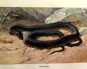 1920 Antique horseshoe whip snake print, vintage  Asian SNAKE colour  lithograph, venomous reptile engraving plate illustration.