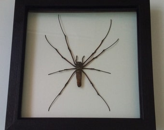 Spider mounted in a black box frame