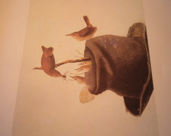 Vintage - Birds Nesting in Hat - House Wrens -Audubon Color Plate - for birders - oversized 13 by 10.5 - nature lovers - naturalists delight
