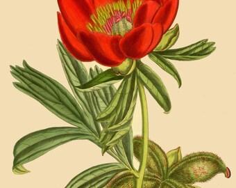 antique victorian botanical print red peony flower illustration digital download