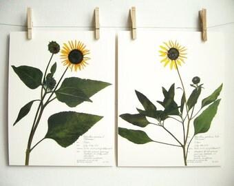 Sunflowers Print Set, #212 203, wild sunflowers colorado wildflowers herbarium specimen pressed botanical art 8x10 11x14 Helianthus annuus